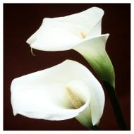 Liljer fra haven