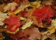 Fugtige-ahorn-blade