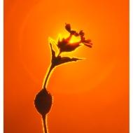 Ildrød-blomst