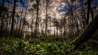 Søvind skov III